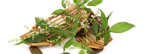 Nirgundi: Incredible Health Benefits Of This Powerful Medicinal Herb