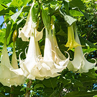 Datura: Benefits, Uses, Formulations, Ingredients, Method, Dosage and Side Effects