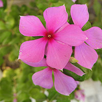Sadabahar: Astounding Health Benefits Of The Beautiful Periwinkle Flower