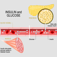 Insulin: Structure, Functions, Blood Test, Adverse Effects