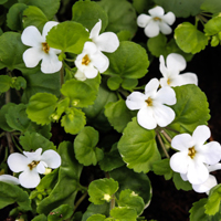 Believe In Brahmi For Amazing Health Benefits