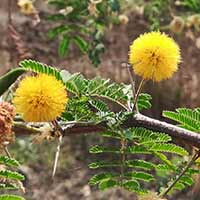 Babool: 5 Astonishing Wellness Benefits Of This Versatile Medicinal Plant
