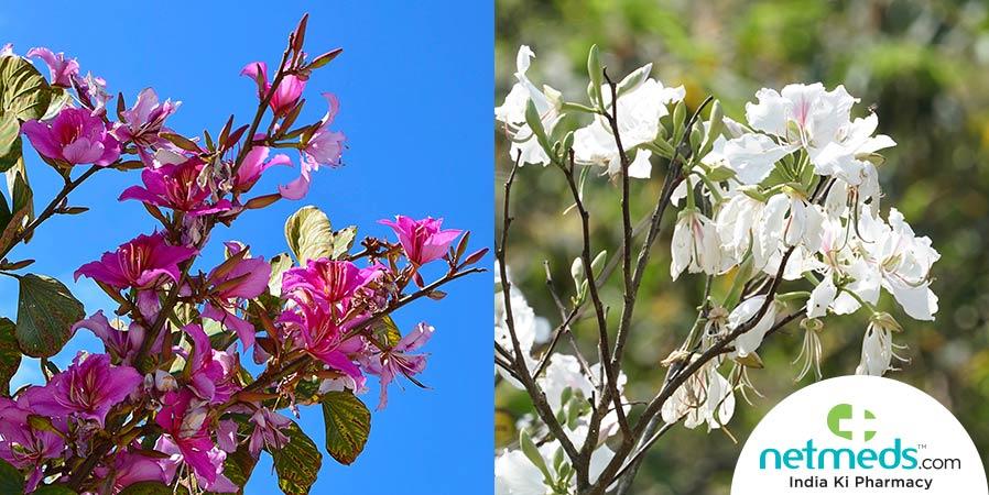 Kachnar flowers